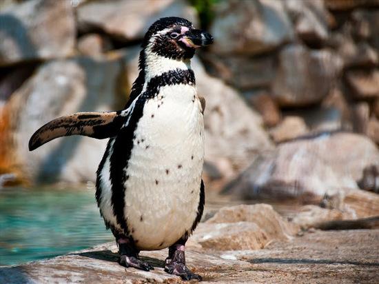 Доконца лета вИжевский зоопарк привезут краснокнижных пингвинов